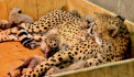 Three-week-old cheetah cubs at the Saint Louis Zoo