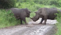 Savage rhinoceros fight caught on camera