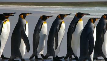 Գիտնականները պինգվինների նոր բնակավայր են հայտնաբերել