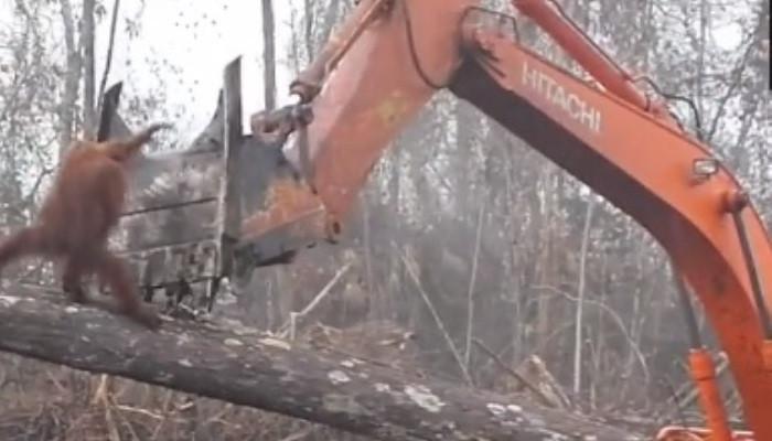 Հուսահատ օրանգուտանն անհավասար պայքար է մղում իր տունն ավերող մարդու դեմ (տեսանյութ)