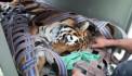 Ինչպես են Մանվել Գրիգորյանի ամառանոցում պահվող վագրին տեղափոխում կենդանաբանական այգի (տեսանյութ)