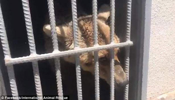 The heartbreaking moment an abused bear sees the outside of its cage for the first time in years after being rescued from a hellish Armenian zoos