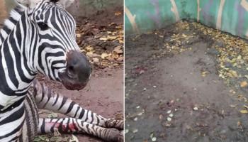 Կենդանաբանական այգու զեբրին թունավորել են մկնդեղով. նա սատկել է