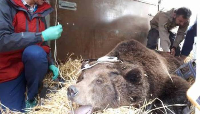Two bears Rescued