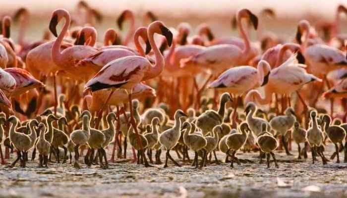 В ЮАР спасли около трехсот птенцов фламинго