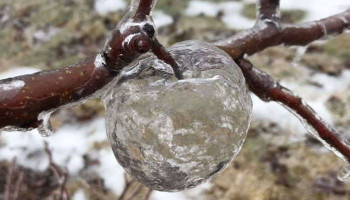 'Ghost apples' appear at Michigan orchard following icy weather