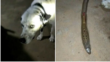Loyal dog collapses and dies after saving family from poisonous snake