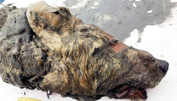 40,000-year-old severed wolf's head discovered in Siberia