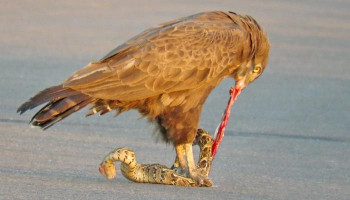 Snake Eagle Ripping Snake Apart As it Tries to Escape