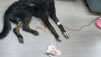 This dog appeared under our care with almost no blood