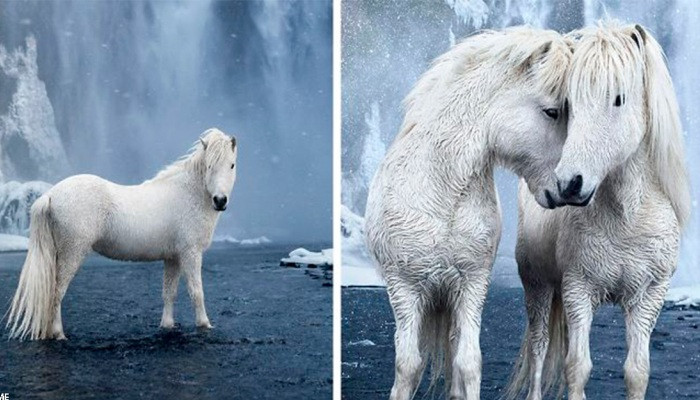 Իսլանդական ձմռան ու ձիերի անհավանական գեղեցկությունը՝ «Առասպելների թագավորությունում»