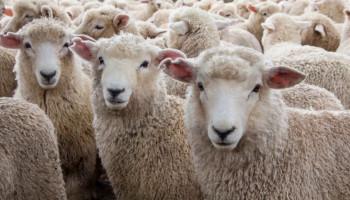 Կառավարությունը հաստատեց 2019-2023 թթ ոչխարաբուծության և այծաբուծության զարգացման ծրագիրը