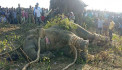 Rogue 'Bin Laden' elephant caught in India after killing five people