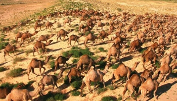 Officials to kill thousands of camels in Australia as they drink too much water amid wildfires