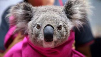 В результате лесных пожаров в Австралии погибли более 1 млрд животных
