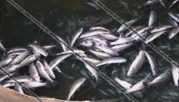 Ձկների զանգվածային անկում Գետամեջում. պատճառվել է 5-6 մլն դրամի վնաս