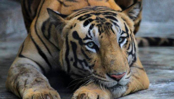 #Coronavirus: Tiger at Bronx Zoo tests positive for #COVID_19․ #BBCNews