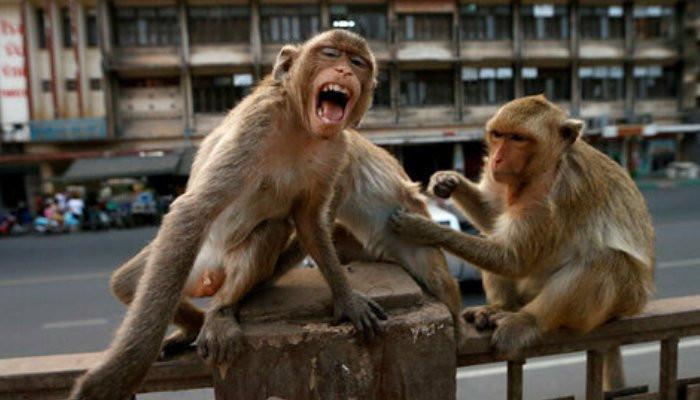 В Индии обезьяны напали на медика и похитили образцы крови с коронавирусом