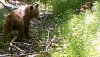 Do you remember the Brown Bears of Artavan