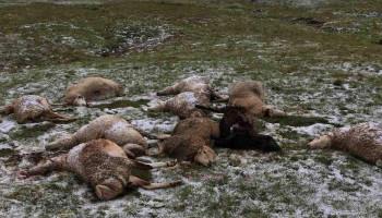 Կայծակից սատկել են սիսիանցու տասնյակ ոչխարներ