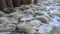 Շների գազազած ոհմակը Երևանում հոշոտել է 207 գլուխ ոչխար