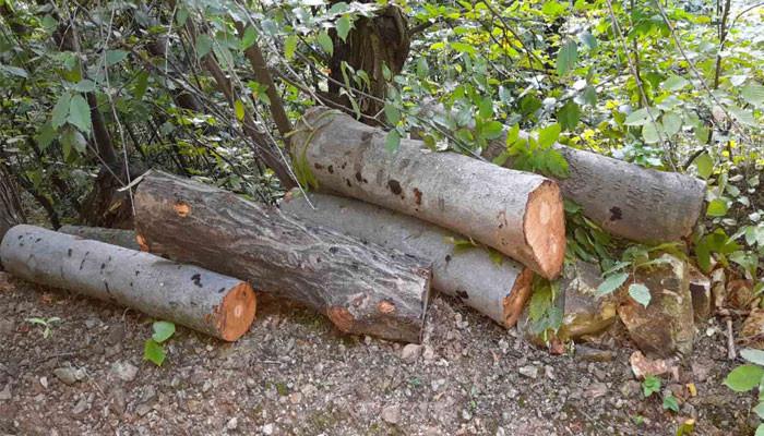 Գուգարքի անտառտնտեսության տարածքում հայտնաբերել է ապօրինի հատված 39 ծառ․ հասցված վնասը գերազանցում է 900.000 դրամը